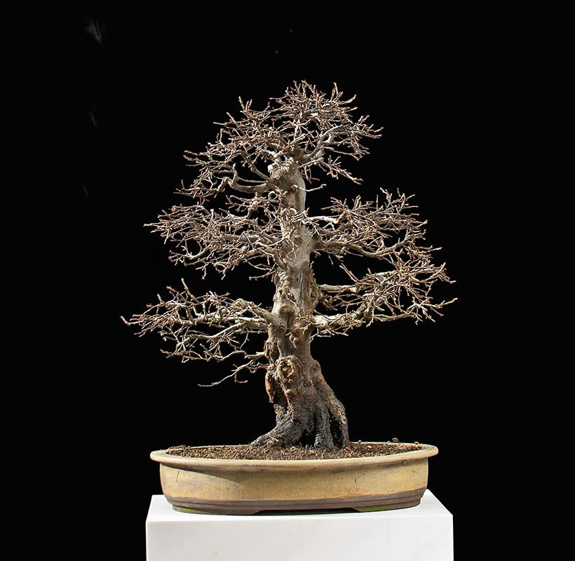 Bonsai Photo Of The Day 9/13/2017
