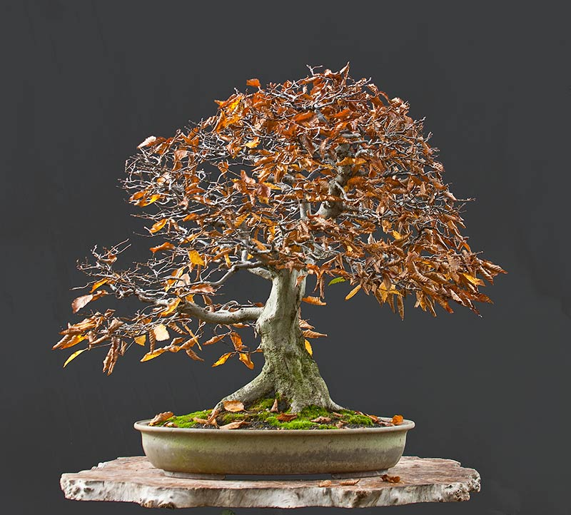 Bonsai Photo Of The Day 9/4/2017