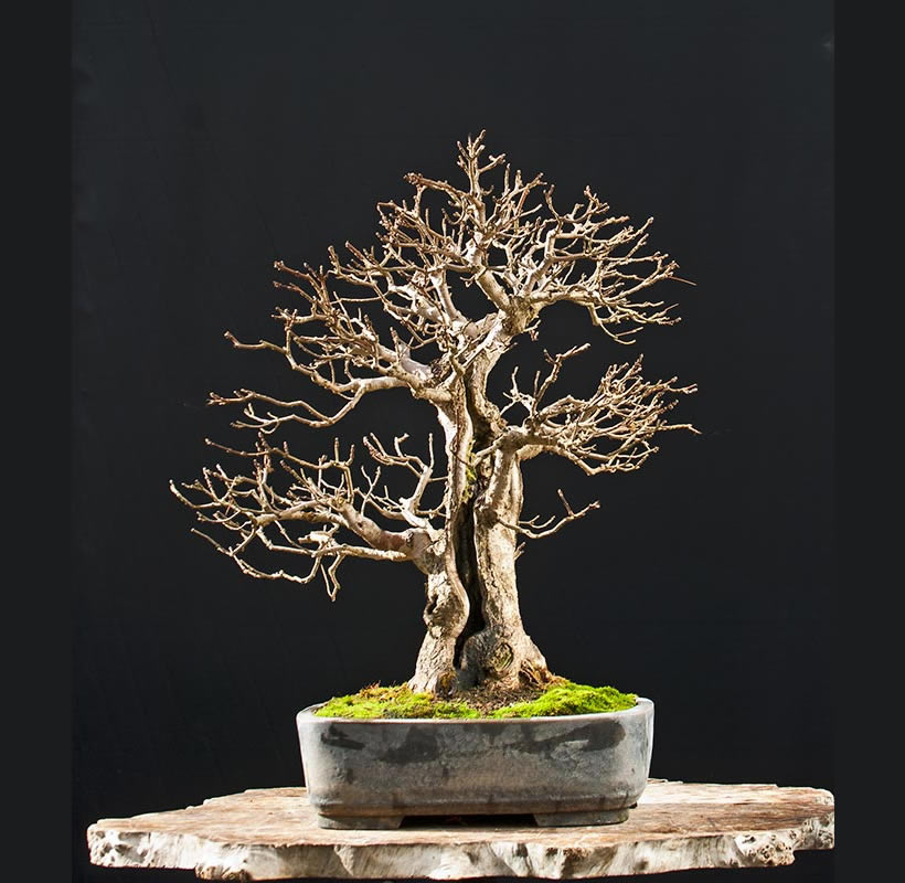 Bonsai Photo Of The Day 9/5/2017