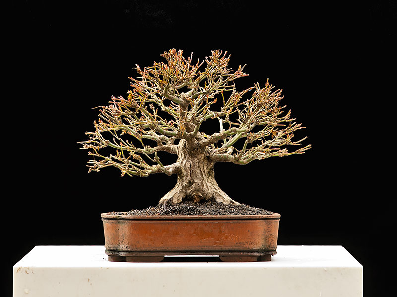 Bonsai Photo Of The Day 9/28/2017