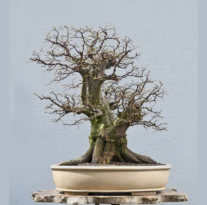 Bonsai Photo Of The Day 10/10/2017