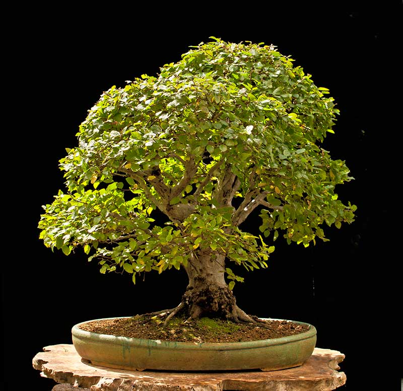Bonsai Photo Of The Day 10/12/2017