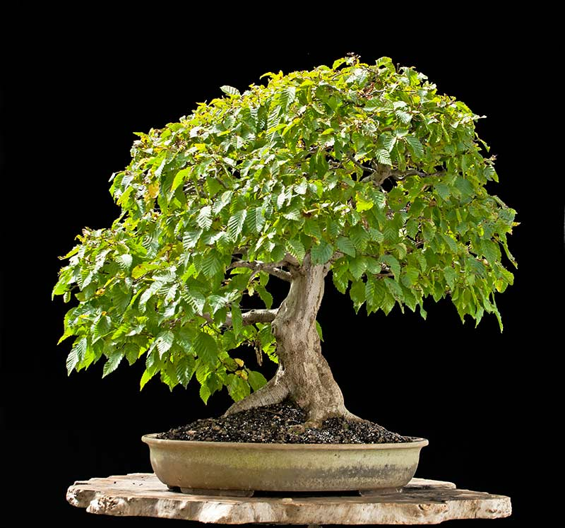 Bonsai Photo Of The Day 10/13/2017