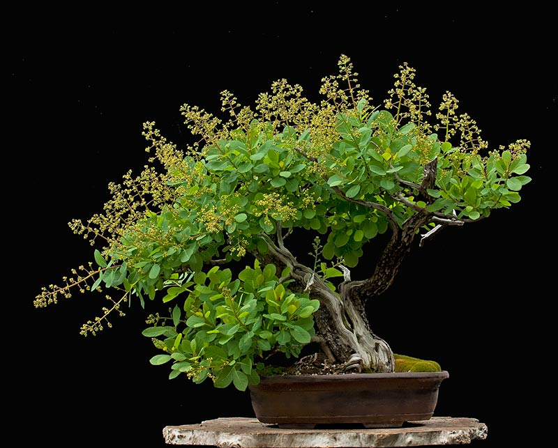 Bonsai Photo Of The Day 10/14/2017