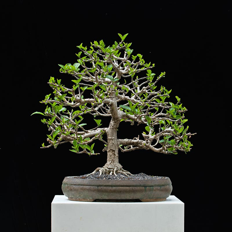 Bonsai Photo Of The Day 10/17/2017
