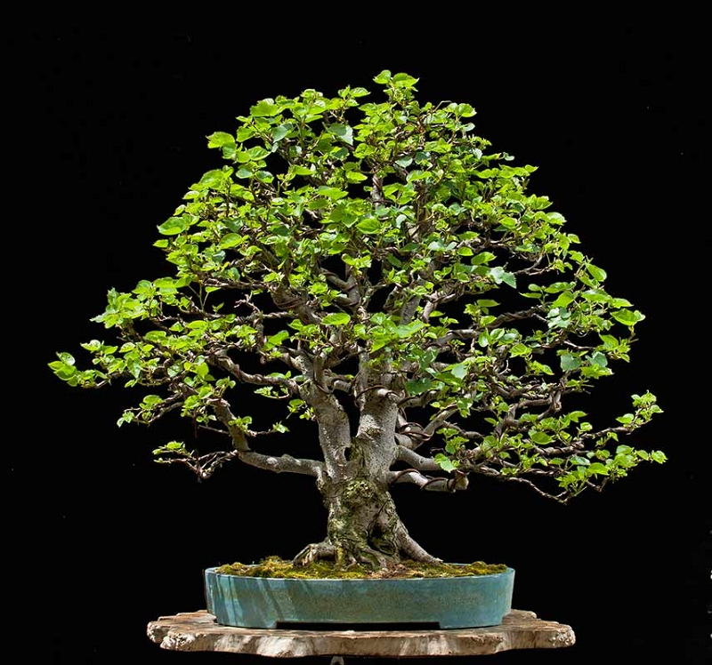 Bonsai Photo Of The Day 10/18/2017