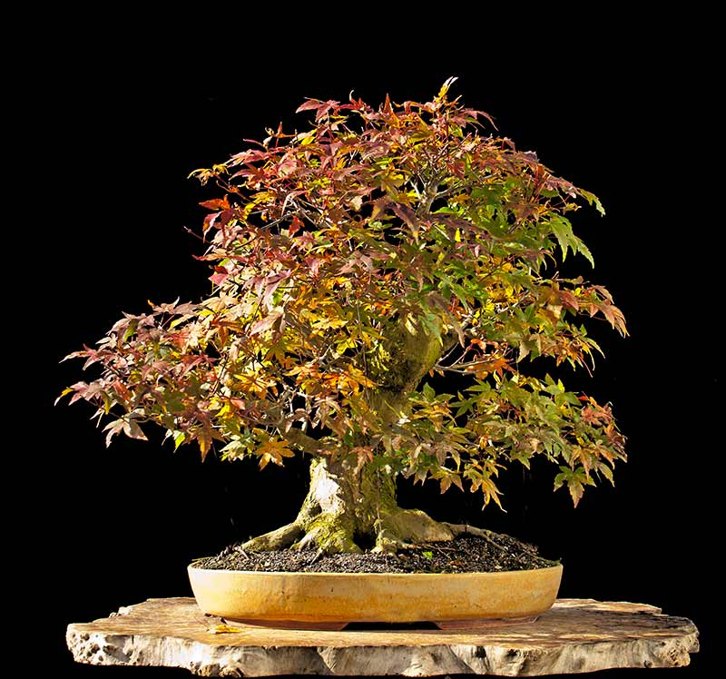 Bonsai Photo Of The Day 10/24/2017