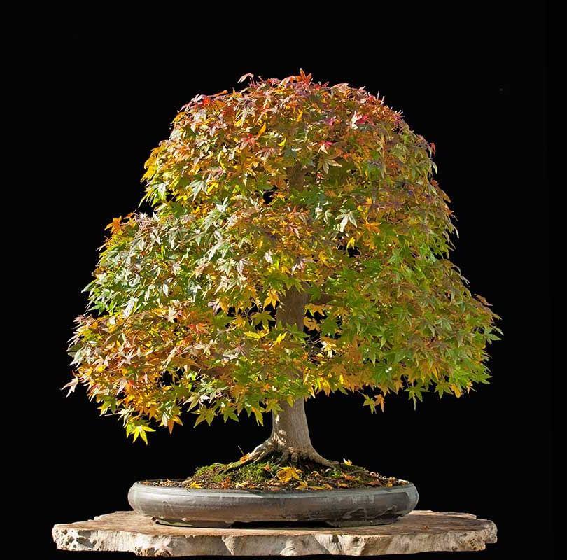 Bonsai Photo Of The Day 10/25/2017