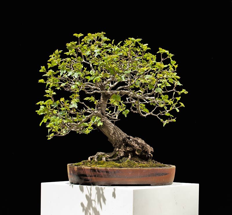Bonsai Photo Of The Day 10/27/2017