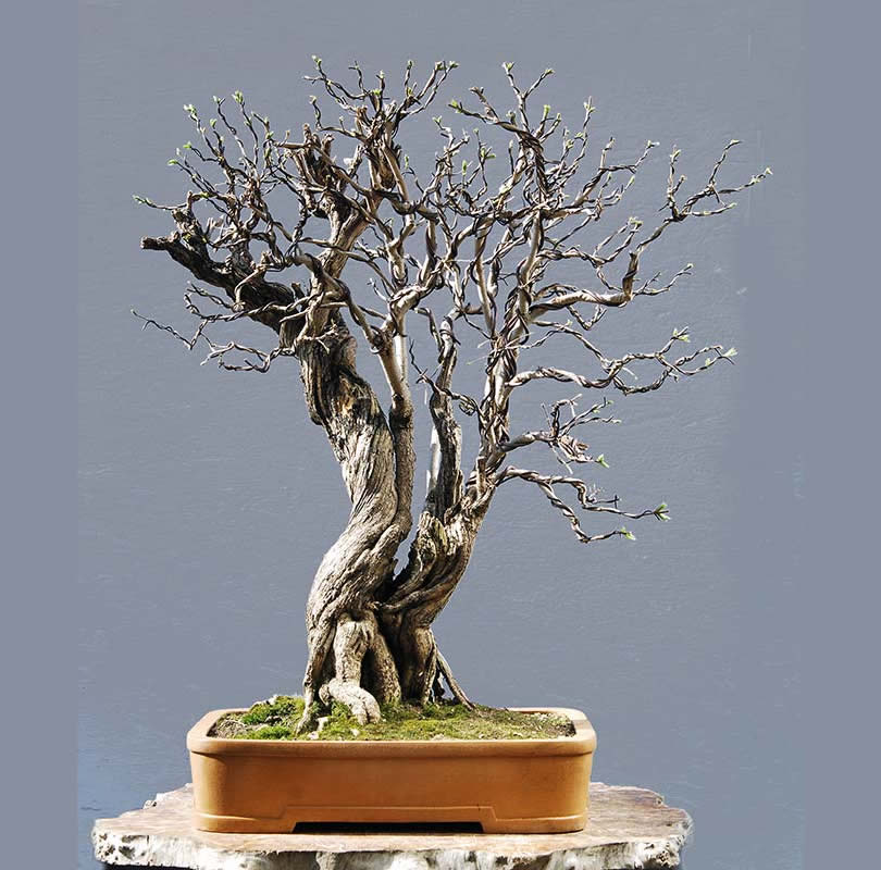 Bonsai Photo Of The Day 10/3/2017