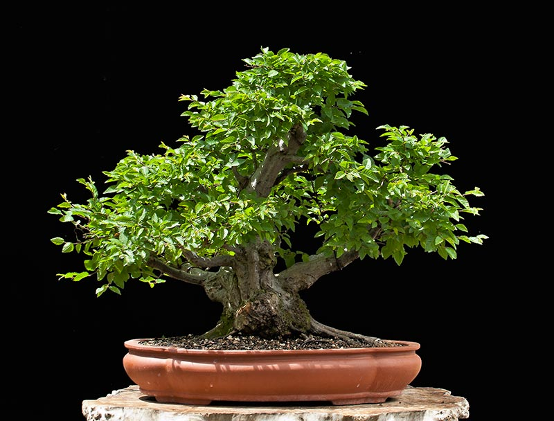 Bonsai Photo Of The Day 10/30/2017