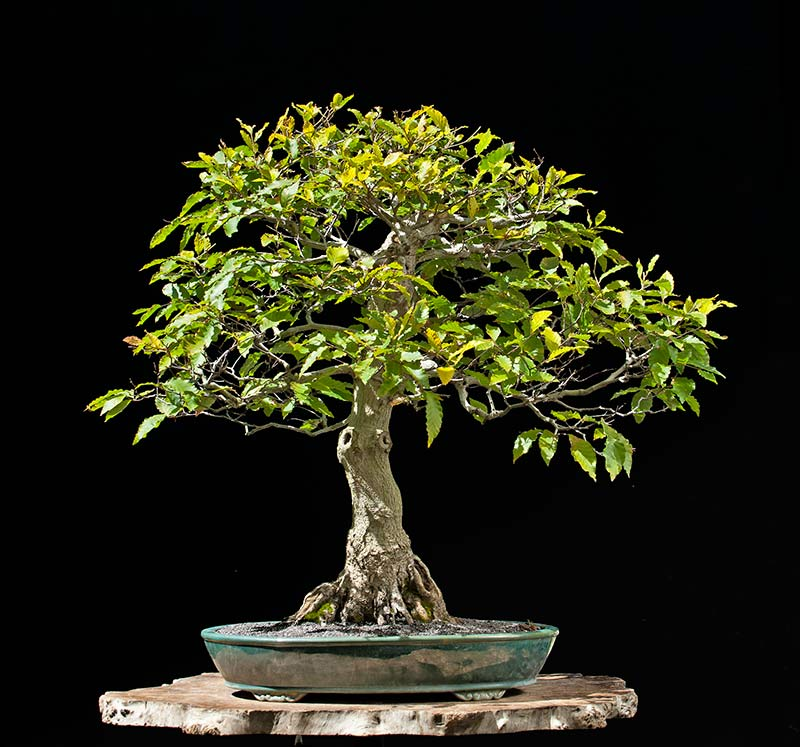Bonsai Photo Of The Day 10/31/2017