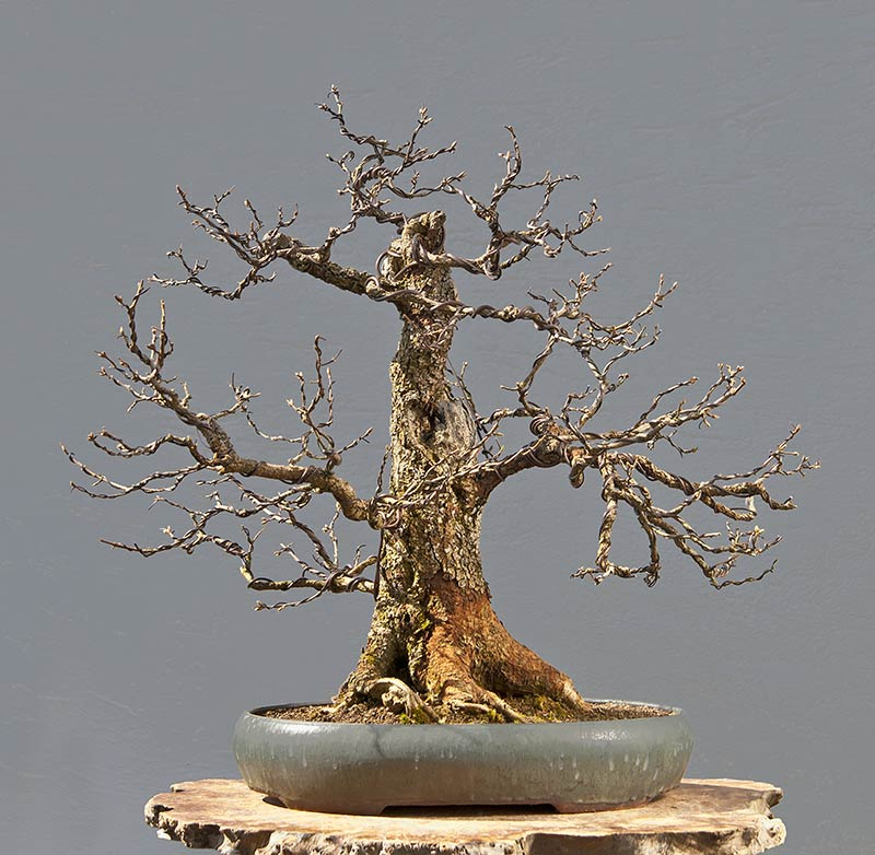 Bonsai Photo Of The Day 10/4/2017