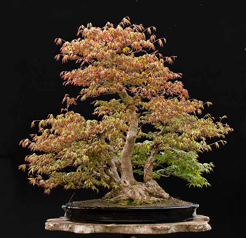 Bonsai Photo Of The Day 10/6/2017