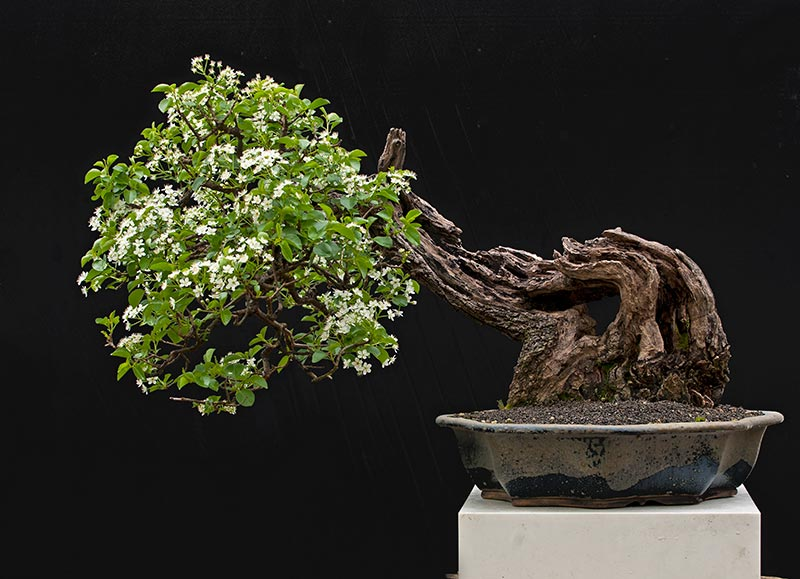Bonsai Photo Of The Day 10/9/2017