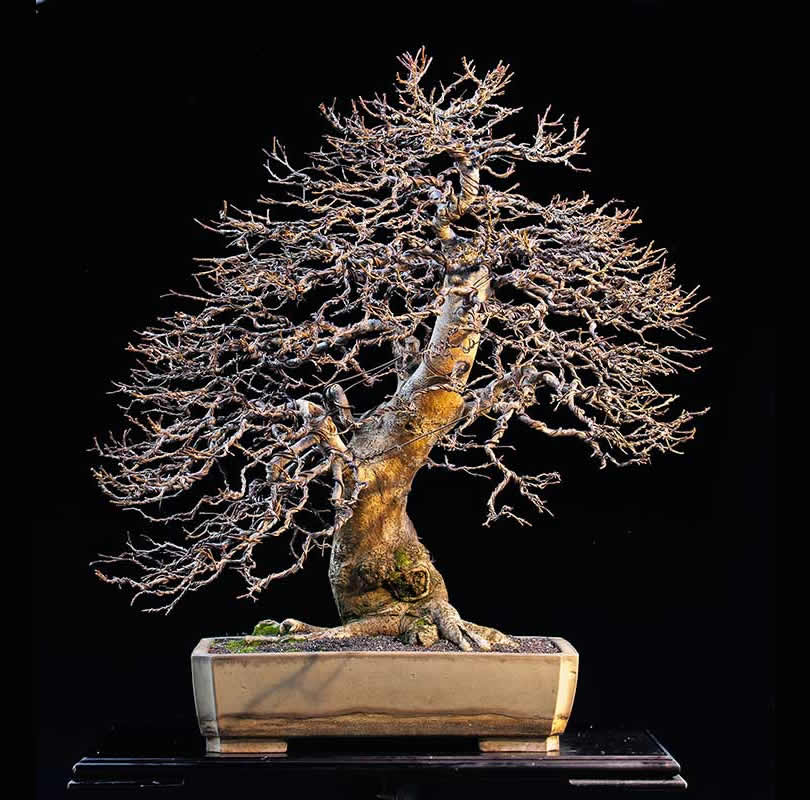 Bonsai Photo Of The Day 11/17/2017