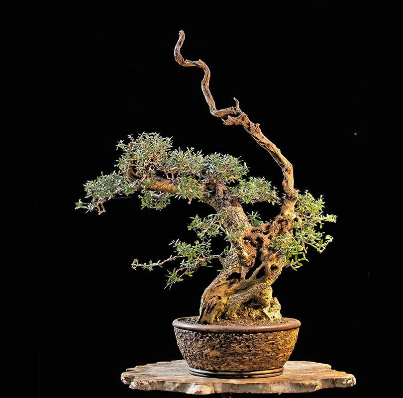 Bonsai Photo Of The Day 11/20/2017