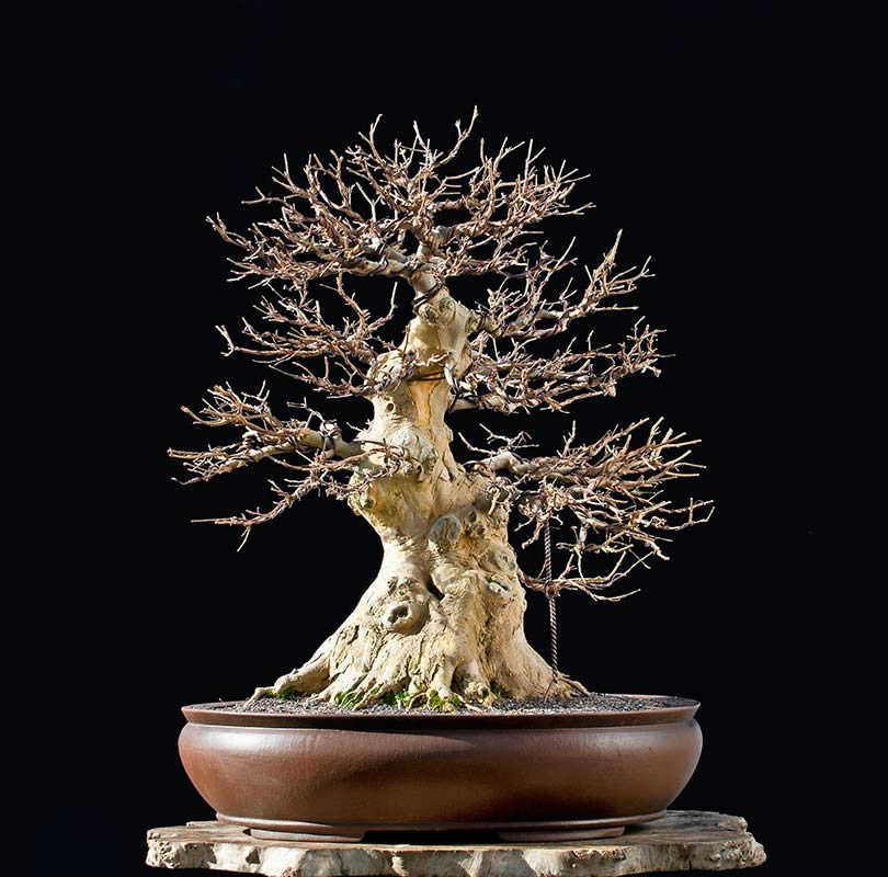 Bonsai Photo Of The Day 11/21/2017