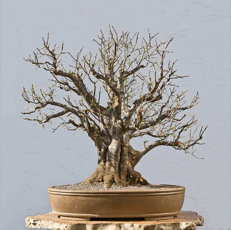Bonsai Photo Of The Day 11/22/2017