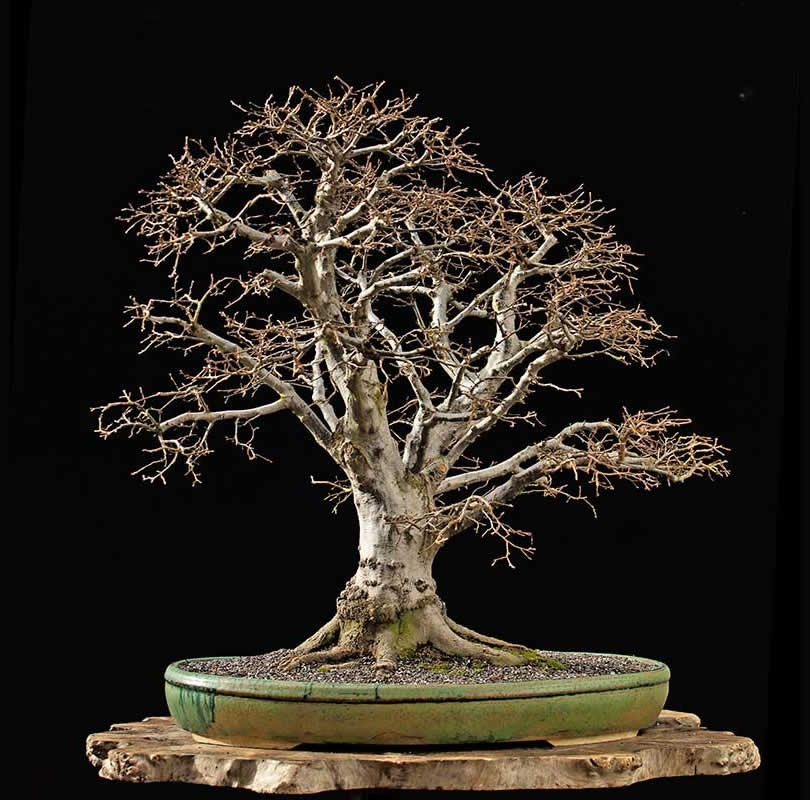 Bonsai Photo Of The Day 11/24/2017