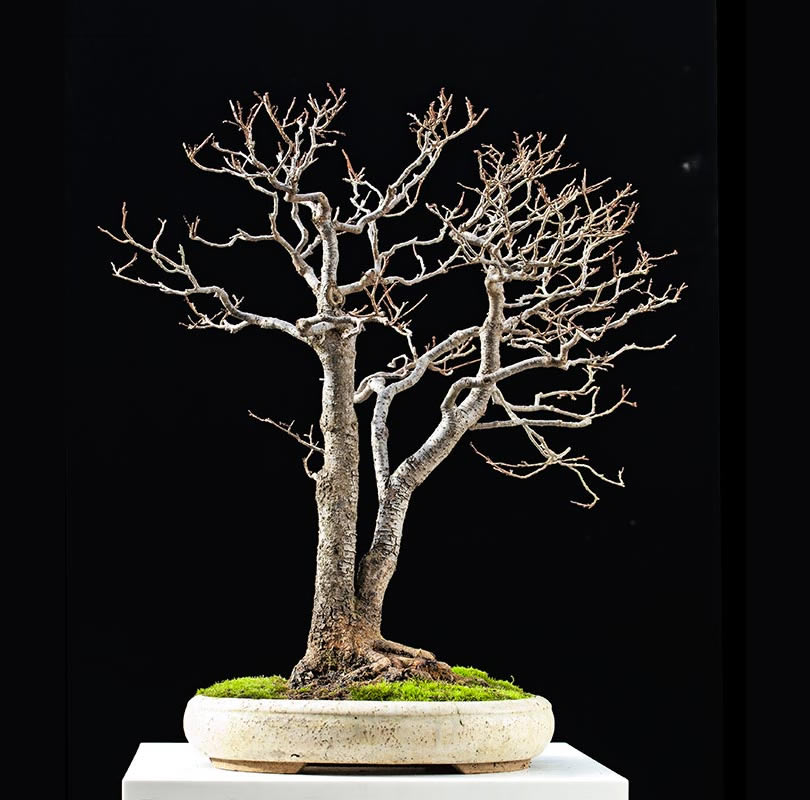 Bonsai Photo Of The Day 11/27/2017