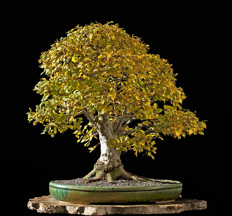 Bonsai Photo Of The Day 11/29/2017