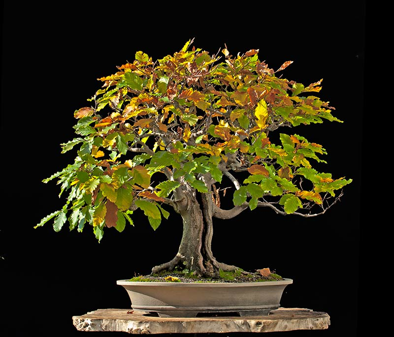 Bonsai Photo Of The Day 11/1/2017
