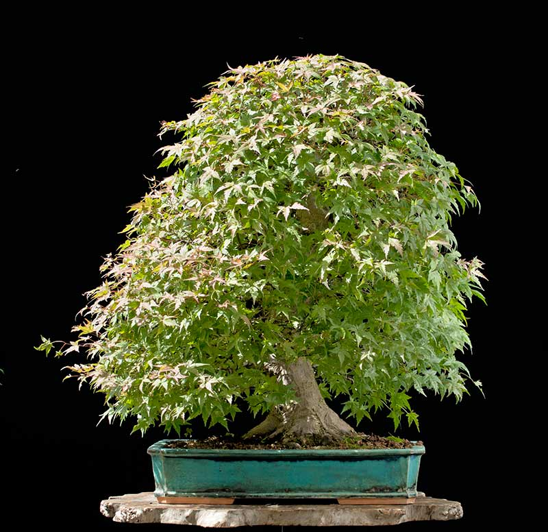 Bonsai Photo Of The Day 11/13/2017