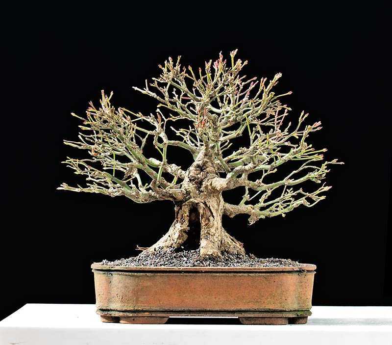 Bonsai Photo Of The Day 11/3/2017