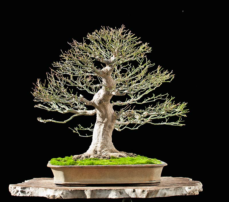 Bonsai Photo Of The Day 11/6/2017