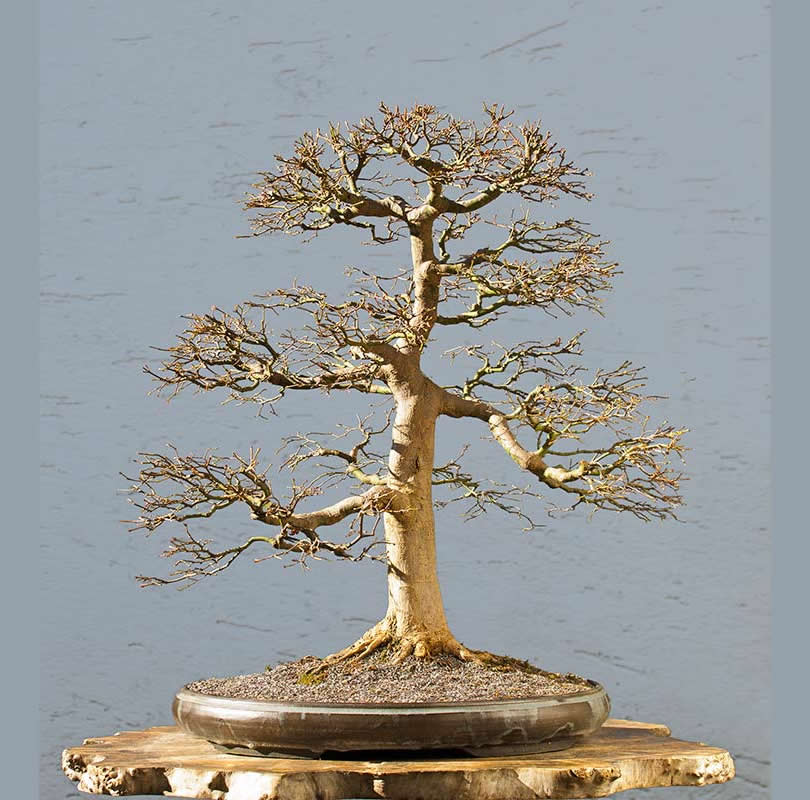 Bonsai Photo Of The Day 11/7/2017