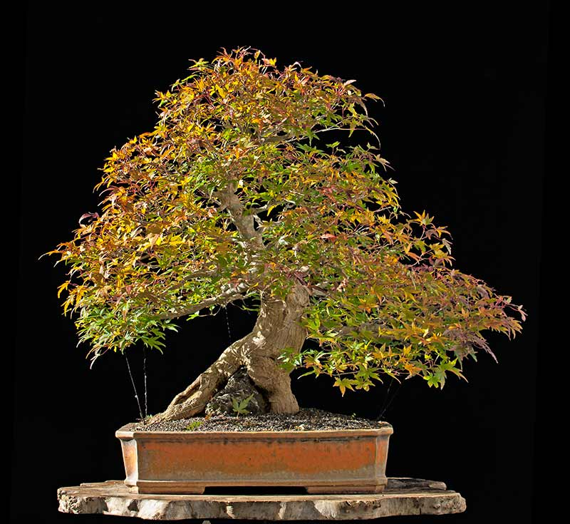Bonsai Photo Of The Day 12/11/2017