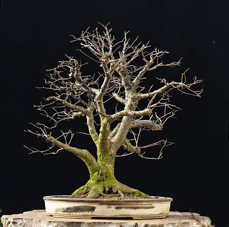 Bonsai Photo Of The Day 12/12/2017