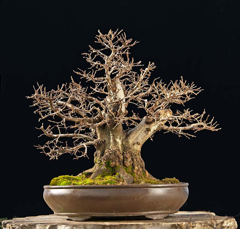 Bonsai Photo Of The Day 12/15/2017