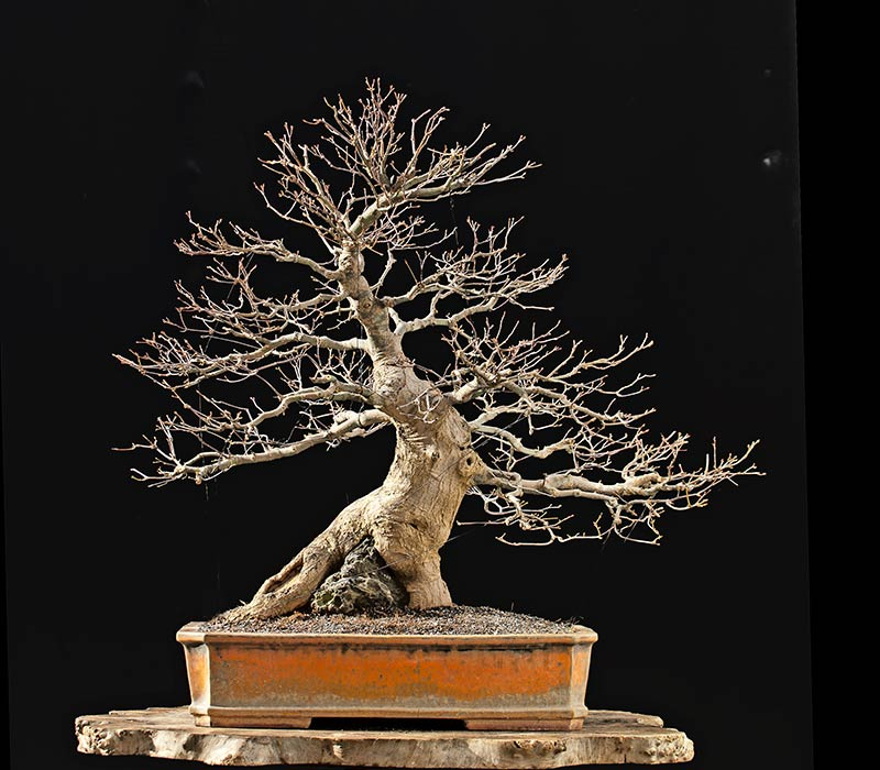Bonsai Photo Of The Day 12/5/2017