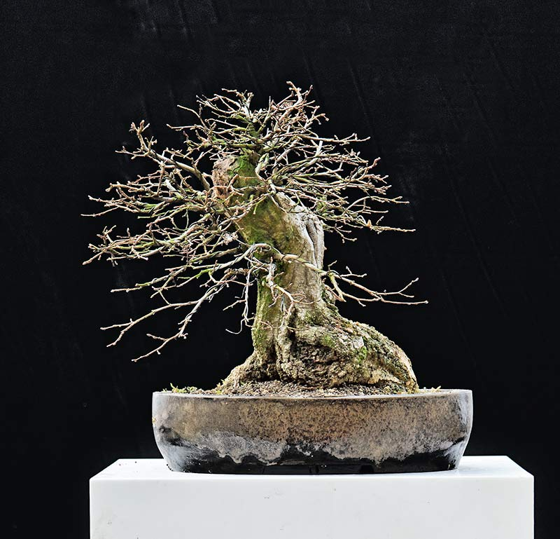 Bonsai Photo Of The Day 12/6/2017