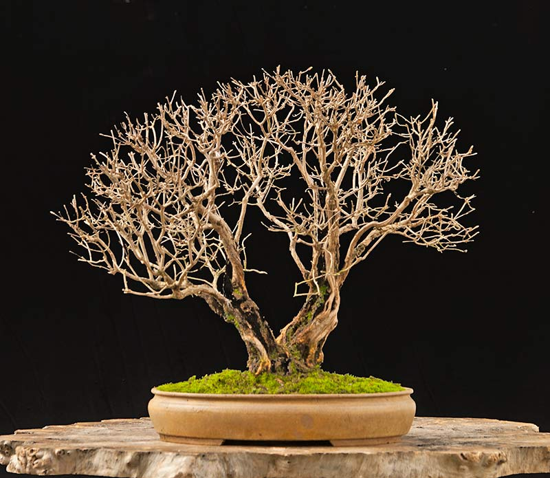 Bonsai Photo Of The Day 12/7/2017
