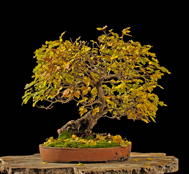 Bonsai Photo Of The Day 12/8/2017