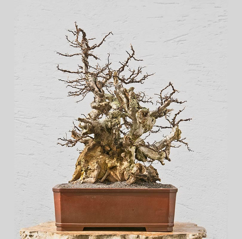 Bonsai Photo The Day 12/21/2017