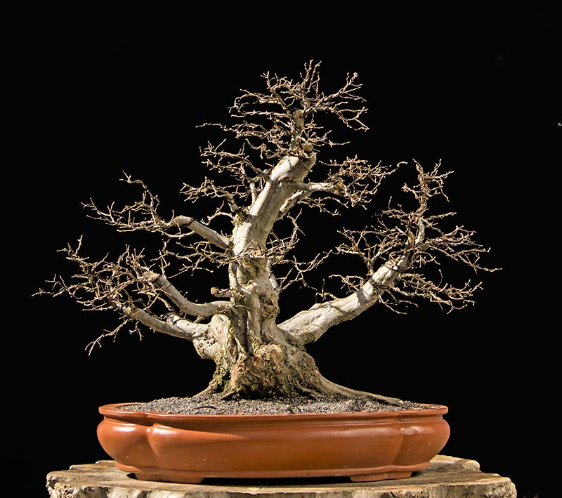 Bonsai Photo The Day 12/22/2017