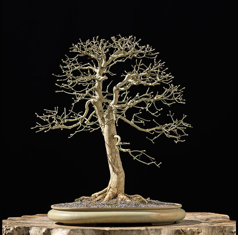 Bonsai Photo The Day 12/28/2017