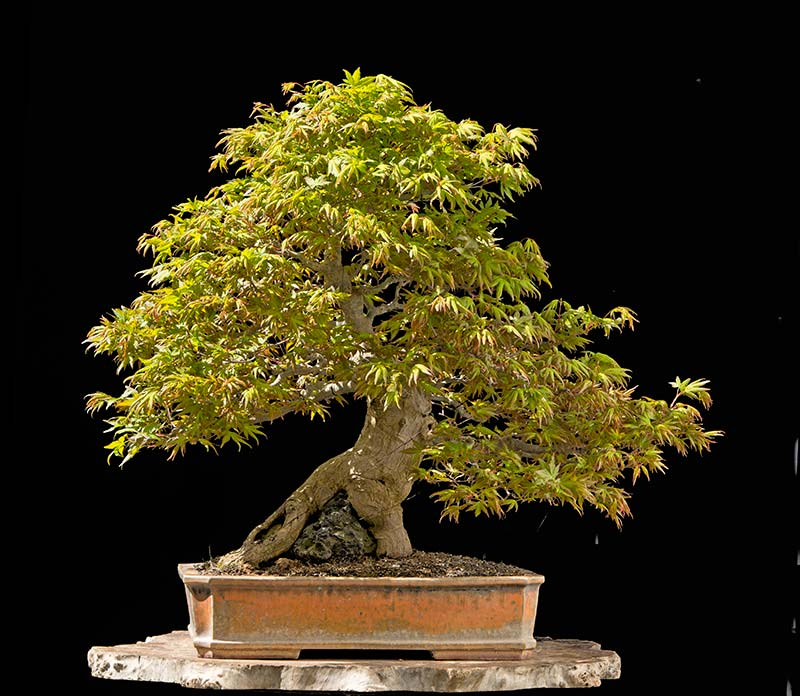 Bonsai Photo of the Day 1-11-2018