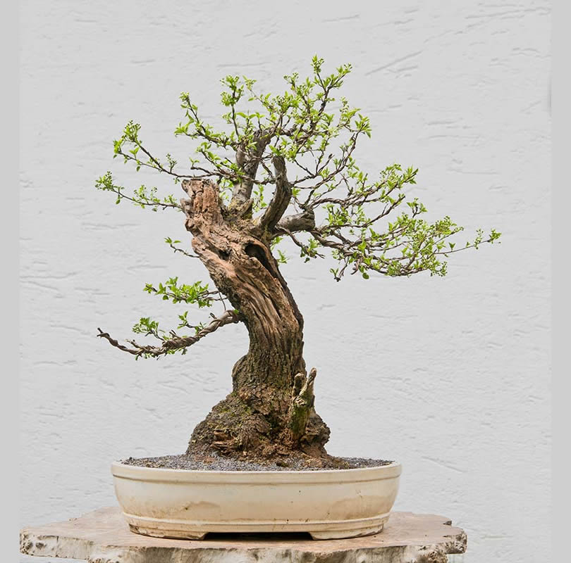 Bonsai Photo of the Day 1-12-2018