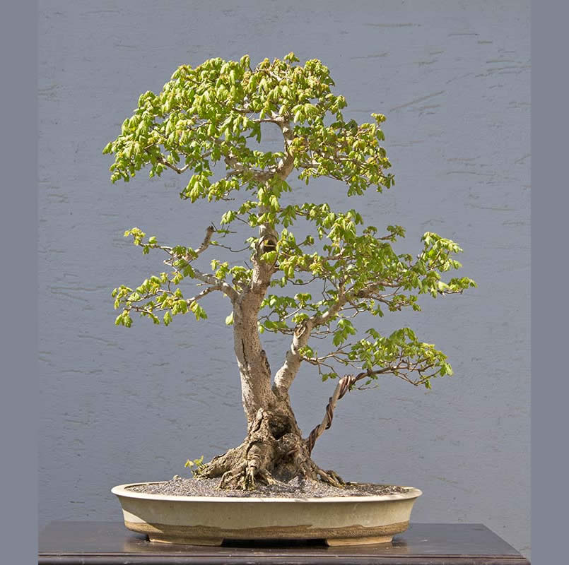Bonsai Photo of the Day 1-16-2018