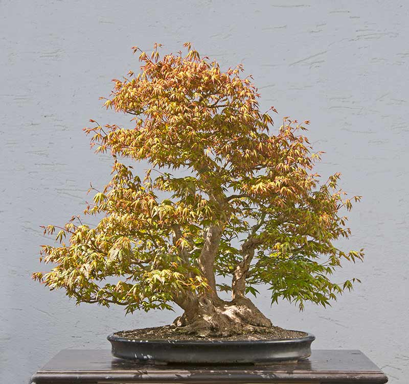 Bonsai Photo of the Day 1-17-2018