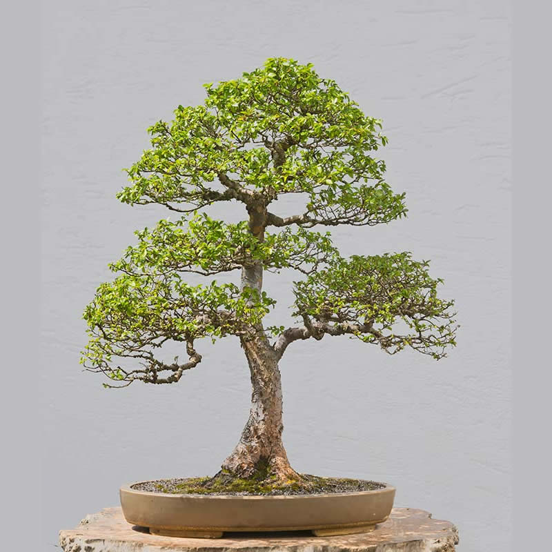 Bonsai Photo of the Day 1-18-2018
