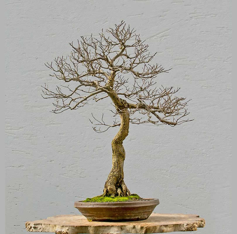 Bonsai Photo of the Day 1-22-2018