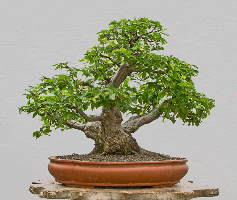 Bonsai Photo of the Day 1-25-2018