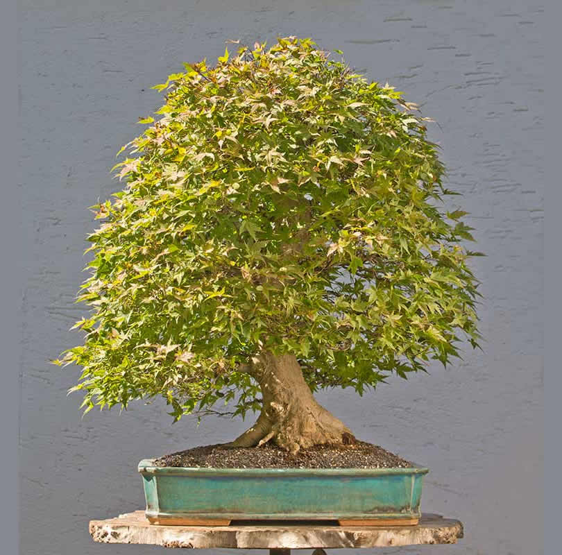 Bonsai Photo of the Day 1-30-2018