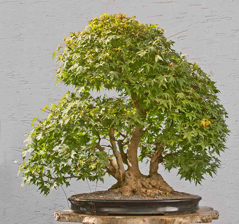 Bonsai Photo of the Day 1-31-2018